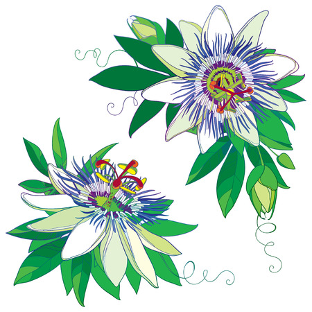 Tropical blue Passiflora or Passion flower. Outline exotic flowers, bud and leaf. Illustration
