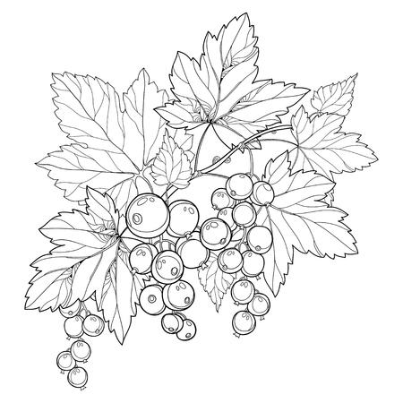 Zweig mit Umriss Schwarze Johannisbeere, Haufen, Beeren und Blätter. Vektorgrafik