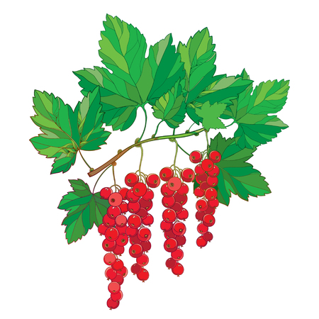 Branch with outline Red currant.