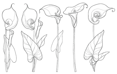 Set with Calla lily flower or Zantedeschia, bud and leaves in black isolated on white background. Floral elements in contour style with ornate calla for summer design and coloring book. Illustration