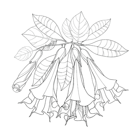Branch with Brugmansia arborea or Angels Trumpets Outline flower, bud and foliage isolated on white. Floral elements in contour style with Brugmansia for summer design and coloring book. Illustration