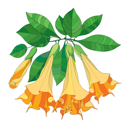 Branch with Brugmansia or Angels Trumpets. Outline orange flower, bud and green leaves isolated on white background. Floral elements in contour style with Brugmansia for summer design.