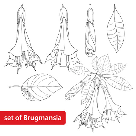 Set with Brugmansia arborea or Angels Trumpets, flower, bud and leaves isolated on white background. Floral elements in contour style with Brugmansia for summer design and coloring book.