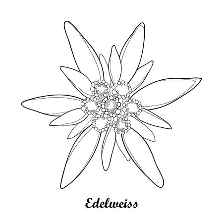 Illustration with outline Edelweiss or Leontopodium alpinum isolated on white background. Symbol of Alp Mountains in contour style. Alpine mountain flower for summer design and coloring book.