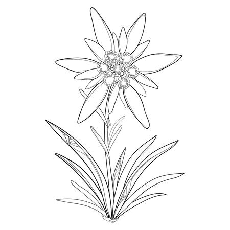 Overzicht Edelweiss of Leontopodium alpinum. Bloem en bladeren op witte achtergrond worden geïsoleerd die. Symbool van Alp-bergen in contourstijl. Alpiene bergbloem voor de zomerontwerp en kleurend boek.