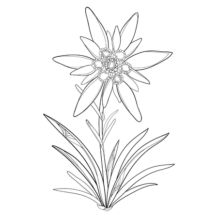 Outline Edelweiss or Leontopodium alpinum. Flower and leaves isolated on white background. Symbol of Alp Mountains in contour style. Alpine mountain flower for summer design and coloring book. Illustration