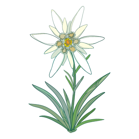 Ornate Edelweiss or Leontopodium alpinum. Blooming flower and green leaves isolated on white background. Symbol of Alp Mountains in contour style. Alpine mountain flower for summer design.