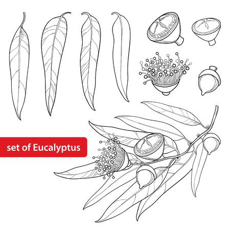 Set with outline Eucalyptus globulus or Tasmanian blue gum, fruit, flower and leaves isolated on white background. Contour Eucalyptus branch for cosmetic, herbs, medical design, coloring book. Vetores