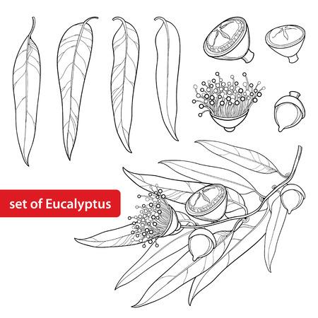Stellen Sie mit Umriss Eukalyptus globulus oder tasmanischer blauer Gummi, Frucht, Blume und Blätter lokalisiert auf weißem Hintergrund ein. Contour Eukalyptus Zweig für Kosmetik, Kräuter, medizinische Gestaltung, Malbuch. Vektorgrafik