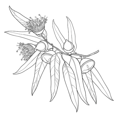 Bunch with outline Eucalyptus globulus or Tasmanian blue gum, fruit, flower, leaves isolated on white background. Contour Eucalyptus branch for cosmetic, herbs, medical design, coloring book.