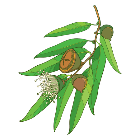 Bunch with outline Eucalyptus globulus or Tasmanian blue gum, fruit, flower and green leaves isolated on white background. Contour Eucalyptus branch for cosmetic, pharmaceutical design.