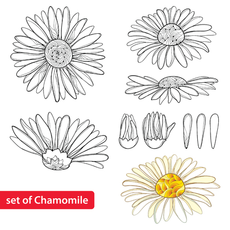 Set with outline Chamomile flowers, bud and petal isolated on white background. Ornate Chamomiles in contour style for summer design, herbal cosmetics, aromatherapy, homeopathy, coloring book. Illustration