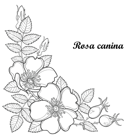 eglantine: Branch with outline Dog rose or Rosa canina, medicinal herb. Flower, bud, leaves and hip isolated on white background. Ornate wild rose in contour style for summer design and coloring book.