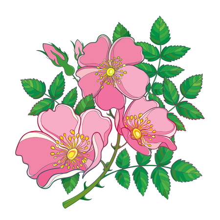 Branch with outline Dog rose or Rosa canina, medicinal herb. Pink flower, bud and green leaves isolated on white background. Bunch with ornate wild rose in contour style for summer design.