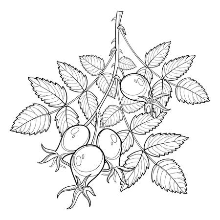 概要ローズヒップや犬ローズ、薬草と分岐します。腰と白い背景で隔離の葉の束します。夏デザインと塗り絵の輪郭のスタイルで華やかな野バラ。 写真素材 - 79385603