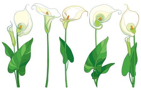 Set with Calla lily flower or Zantedeschia, bud and leaves in pastel color isolated on white background. Floral elements in contour style with ornate calla flowers for summer design. 向量圖像