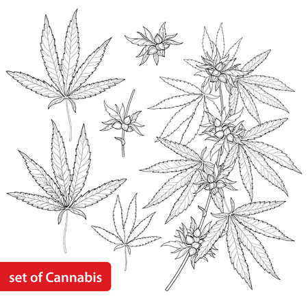 Set with outline Cannabis sativa or Cannabis indica or Marijuana. Branch, leaves and seed isolated on white background. Medicinal plant in contour style for summer design and coloring book.
