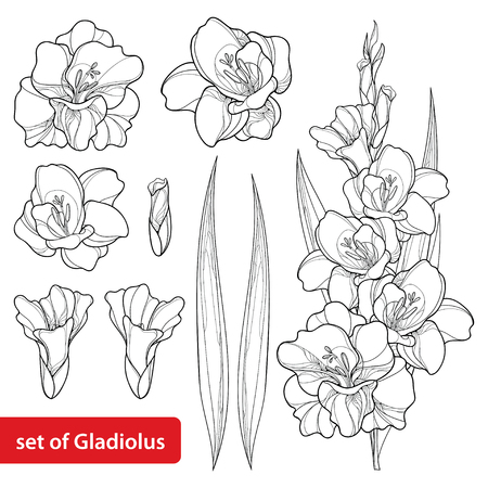 Set with Gladiolus or sword lily flower, bunch, bud and leaf in black isolated on white background. Floral elements in contour style with ornate gladioli for summer design and coloring book. Illustration