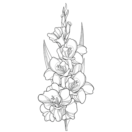 Bunch with gladiolus or sword lily flower, stem, bud and leaf in black isolated on white background. Floral elements in contour style with ornate gladioli for summer design and coloring book.