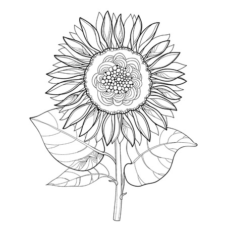 Stem with outline open Sunflower or Helianthus flower isolated on white background. Floral elements in contour style with ornate Sunflowers for summer design and coloring book.