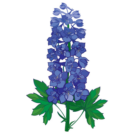 Bunch with ornamental blue Delphinium or Larkspur. Stem with flowers and green leaves isolated on white background. Floral element in contour style with ornate Delphinium for summer design.