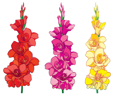 Set with red, pink and yellow Gladiolus or sword lily flower bunch isolated on white background. Floral elements in contour style with ornate gladioli for summer design.