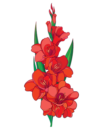 Bunch with red Gladiolus or sword lily flower, stem, bud and green leaves isolated on white background. Floral elements in contour style with ornate gladioli for summer design.