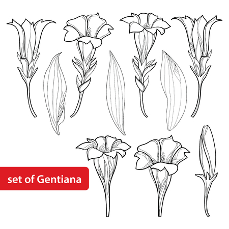 Set with outline Gentiana or Gentian flower, bud and leaf isolated on white background. Alpine mountain flowers in contour style for summer or herbal medicine design and coloring book. Illustration
