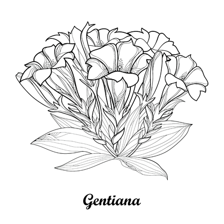 Bouquet with outline Gentiana or Gentian flower, bud and leaf isolated on white background. Ilustração