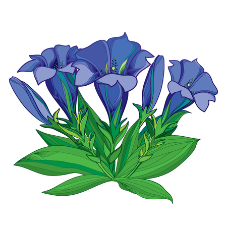 Bouquet with outline blue Gentiana or Gentian flower, bud and green leaves isolated Illustration