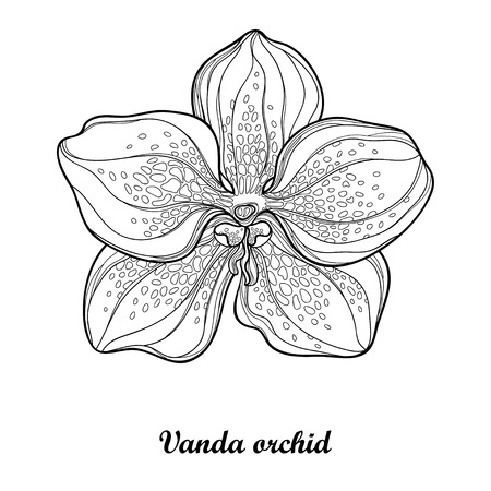 Outline Vanda orchid flower isolated on white background. Epiphyte tropical flower. Exotic Vanda in contour style for summer design and coloring book. Иллюстрация
