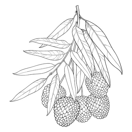 Branch with outline Chinese Lychee or Litchi fruit and leaf isolated on white background. Perennial subtropical tree in contour style for summer design, juicy fresh menu and coloring book. Ilustração