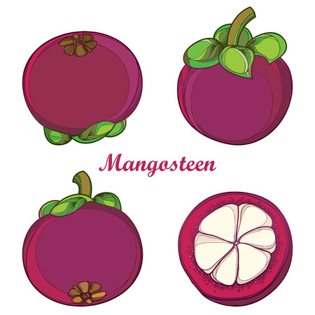 Set with outline Purple Mangosteen or Garcinia mangosteen fruit and half fruit isolated on white background. Exotic tropical plant in contour style.