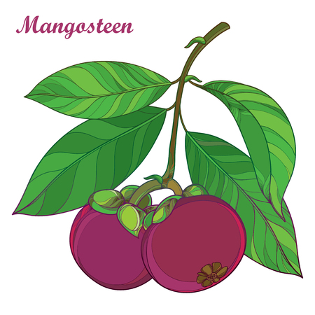Branch with outline Purple Mangosteen or Garcinia mangosteen fruit and leaf isolated on white background. Exotic tropical fruit in contour style.