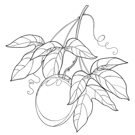 Branch with outline Passion fruit or Maracuya fruit and leaf isolated on white background. Perennial tropical plant in contour style for exotic summer design and coloring book. Ilustração