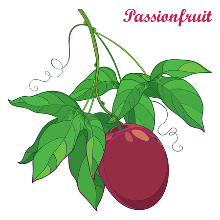 Branch with outline ripe Passion fruit or Maracuya fruit and leaf isolated on white background. Perennial tropical plant in contour style for exotic summer design and fresh food menu. Illustration