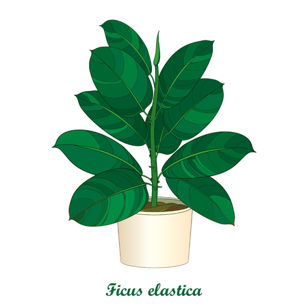 Outline ornamental houseplant Ficus elastic or rubber plant in beige flowerpot isolated on white background. Indoor Ficus in contour style with ornate green leaf for summer design.