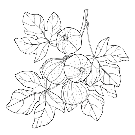 Branch with outline Common Fig or Ficus carica fruit and leaf in black isolated on white background. Perennial subtropical plant in contour style for exotic summer design and coloring book. Иллюстрация