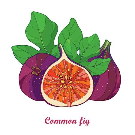 개요와 컴포지션 일반 Fig 또는 Ficus carica입니다. 잘 익은 보라색 과일, 슬라이스 및 녹색 잎 흰색 배경에 고립. 이국적인 여름 디자인 컨투어 스타일의