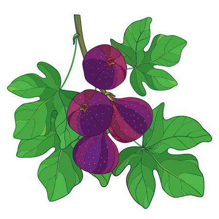 紫と緑の葉が白い背景で隔離のカリカセラピ フルーツ熟したイチジクやイチジクの概要と分岐します。エキゾチックな夏デザインの輪郭のスタイル