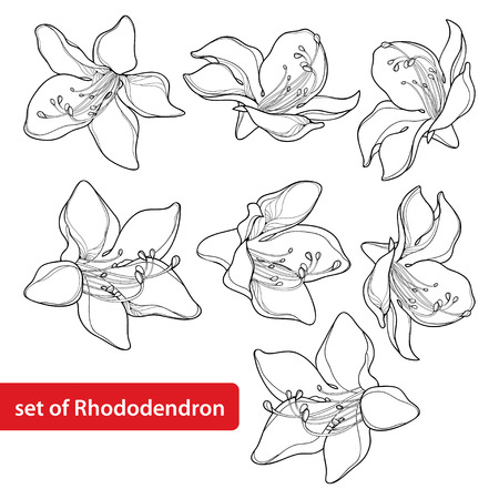 Set with outline Rhododendron or Alpine rose flower isolated on white background. Evergreen mountain shrub. Flowers in contour style for summer or herbal medicine design and coloring book. Ilustracja