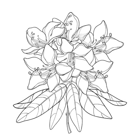 Branch with outline Rhododendron or Alpine rose flower isolated on white background. Bunch with mountain flowers and leaves in contour style for summer or herbal design and coloring book. Vectores