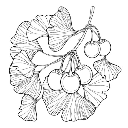 Branch with outline Gingko or Ginkgo biloba tree. Bunch with leaf and fruit isolated on white background. Gymnosperms relict plant in contour style for exotic summer design and coloring book. Vectores
