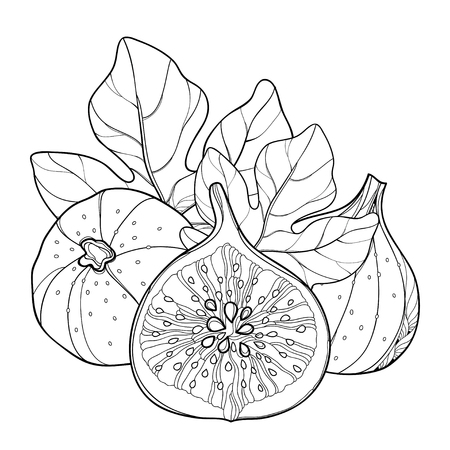 Composition with outline Common Fig or Ficus carica. Ripe fruit slice and leaf isolated on white background. Subtropical plant in contour style for exotic summer design and coloring book.