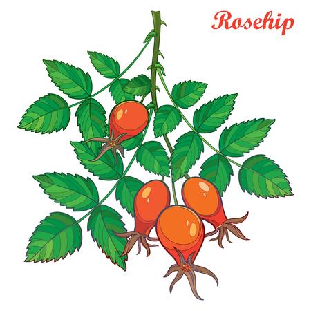 Branch with outline Rosehip or Dog rose, medicinal herb.