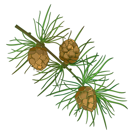 Twig with outline European Larch or Larix tree. Ilustracja
