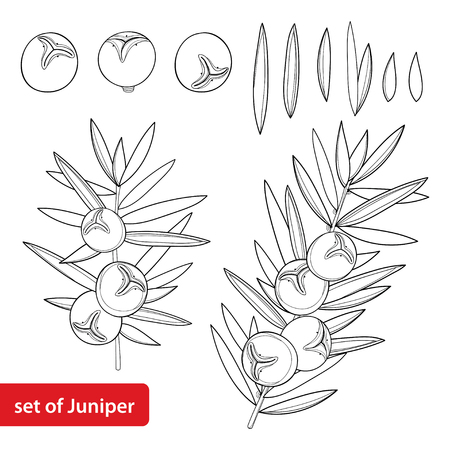 Set with outline Juniper or Juniperus communis. Branch and berry in black isolated on white background. Coniferous tree in contour style for herbal or botanical design and coloring book.