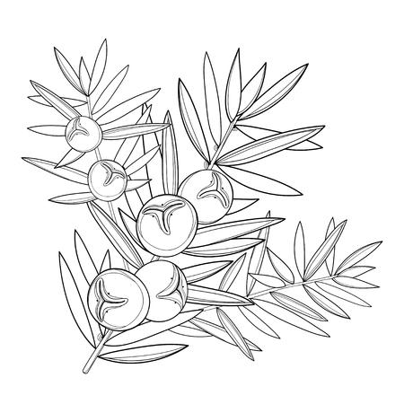 Tak met overzicht Juniper of Juniperus communis. Bos, bes en pijnboom in zwarte die op witte achtergrond wordt geïsoleerd. Naaldboomboom in contourstijl voor kruiden of botanisch ontwerp en kleurboek.