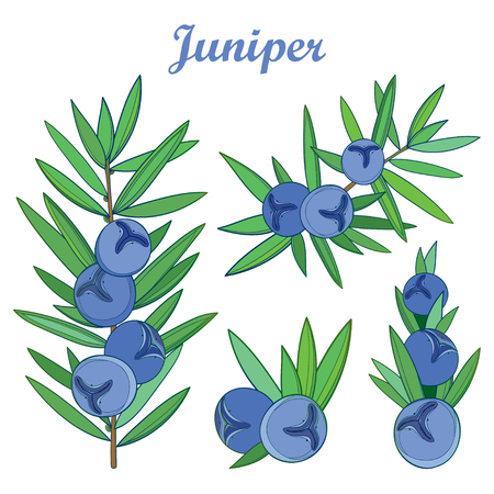 Set with outline Juniper or Juniperus communis. Branch, berry and leaf isolated on white background. Composition with coniferous tree in contour style for herbal or botanical design.