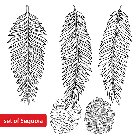 Set with outline Sequoia or California redwood in black isolated on white background. Coniferous tree with pine, cone and branch in contour style for botanical design and coloring book.